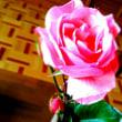バラが咲き、アサガオを蒔く