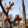 02月15日 梅と桜