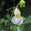 白花の釣舟草