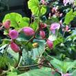 シュウカイドウ定番の花🌸