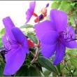 紫の花ノボタン