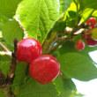 暖地桜桃の赤い実