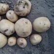 平成30年のマルチジャガイモ