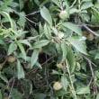 梅くらいの桃の実