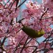 鶴見緑地の桜とメジロ