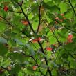 マルバノキ紅葉