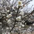 梅の花の香り