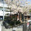御近所の八重桜とウチの木蓮。
