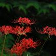 早咲きのヒガンバナ(毎年8月下旬がピーク)