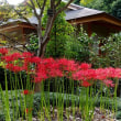 名古屋周辺の彼岸花