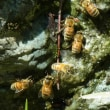 ミツバチの集団吸水