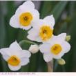 ニホンスイセン 〈日本水仙〉 初咲きの水仙