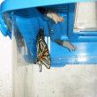 アゲハ、越冬蛹羽化3匹目
