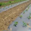 トマト1作目定植