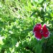 なでしこ、金魚草、矢車草が咲いています。