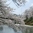 みちのくの桜2018 2:旧興譲館高校跡地と松が岬公園の桜