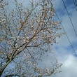 多摩川堤の桜並木