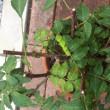 山椒の木に