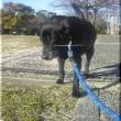 愛される犬、ラブラドール