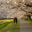 桜 散り始め・・・・・♪