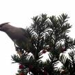 今日の鳥 ヒレンジャク ヤマゲラ ヒレンジャクはオンコの木にでも逆光でヤマゲラも暗い所にで綺麗は撮影出来ず。