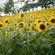 夏の花ひまわり   駅前の法面で