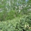 梅雨時の郷土料理、根曲竹