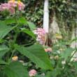 チャバネセセリ蝶の世界