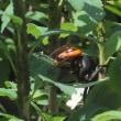 草取りとスズメバチの餌