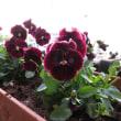 よく咲くすみれをピンチ