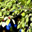 アオハダの果実