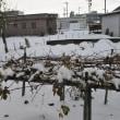 積雪30cm&トホホなポインセチア