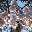 今年も娘と一緒に桜を見られた。