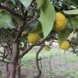 柚子の香り