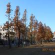 フウの木も紅葉