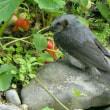 イチゴ盗鳥