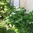 庭の半夏生(半化粧)