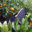 【うんちく話】ミカン大好き人間、収穫に挑戦