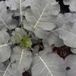冬野菜は順調に大きくなっている、小平農園