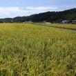 八王子の美味しいお米の稲刈りが始まりました!