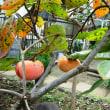 我が家の富有柿
