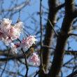 湊山公園の桜