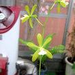 Enc.tampensis fma alba