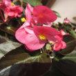 福井県総合グリーンセンターのタマネギハウスの花。