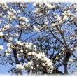 春の訪れを告げる花(^^♪イギリスの王宮植物園園長だったジョセフ・バンクス卿が枝先にユリの花がついている木と評した「ハクモクレン(白木蓮)」