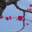 根岸森林公園の梅