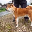 柴ワンコ「りく」日本犬保存会展覧会にでたよ。