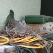 キジバトの巣
