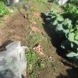 安納芋・ターサイ・ミニ白菜・ワケギ・収穫