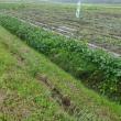 直売所の畑の枝豆は、まだ沢山残っていました